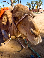 2013-01-12 Camel Riding in Morocco